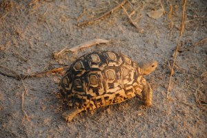 In the Moremi Game Reserve, Botswana, the capture of this leopard turtle was obtained.